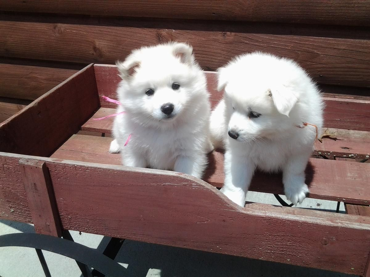 Beautiful American Eskimo Puppies For Sale in Chesapeake