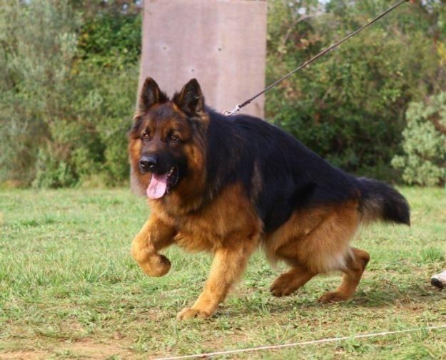 The German Shepherd Is A Breed Of Large Sized Working Dog