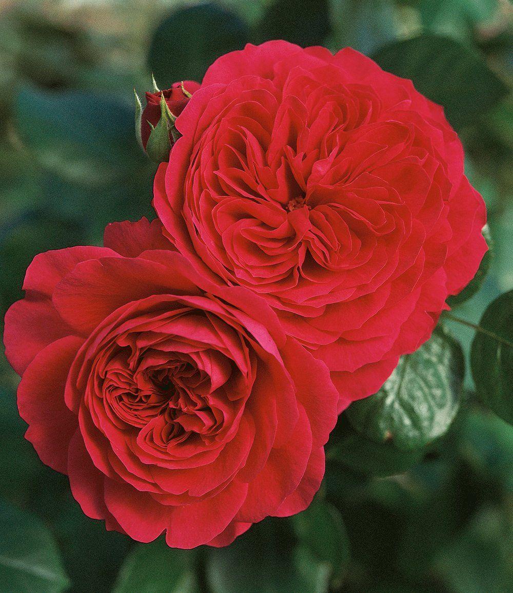 stammrose 39 red leonardo da vinci 39 rosen pinterest. Black Bedroom Furniture Sets. Home Design Ideas