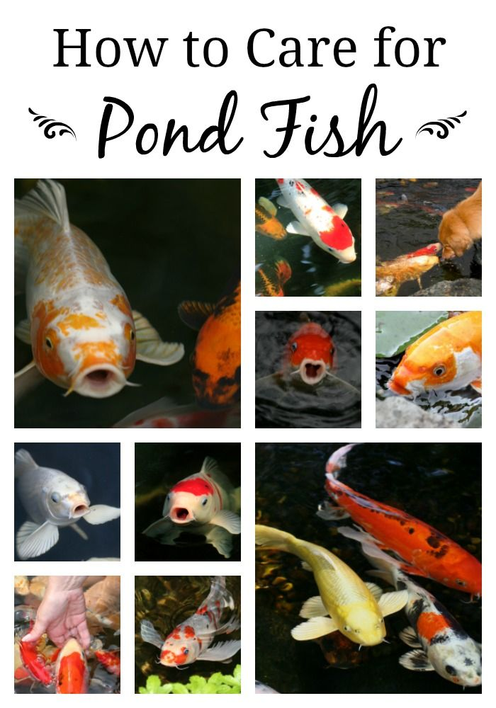 Koi fish care and health in a pond ecosystem pond fish for Koi goldfish care