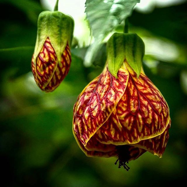 This Week S Featured Photo 706photo Abutilon Biltmore Ballgown Be Sure To Use Our Hashtags Phippsconservatory Phipps For Your Chance