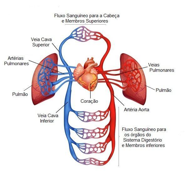 Vasos Sanguíneos | Téc. Enfermagem | Pinterest | Vasos sanguíneos ...