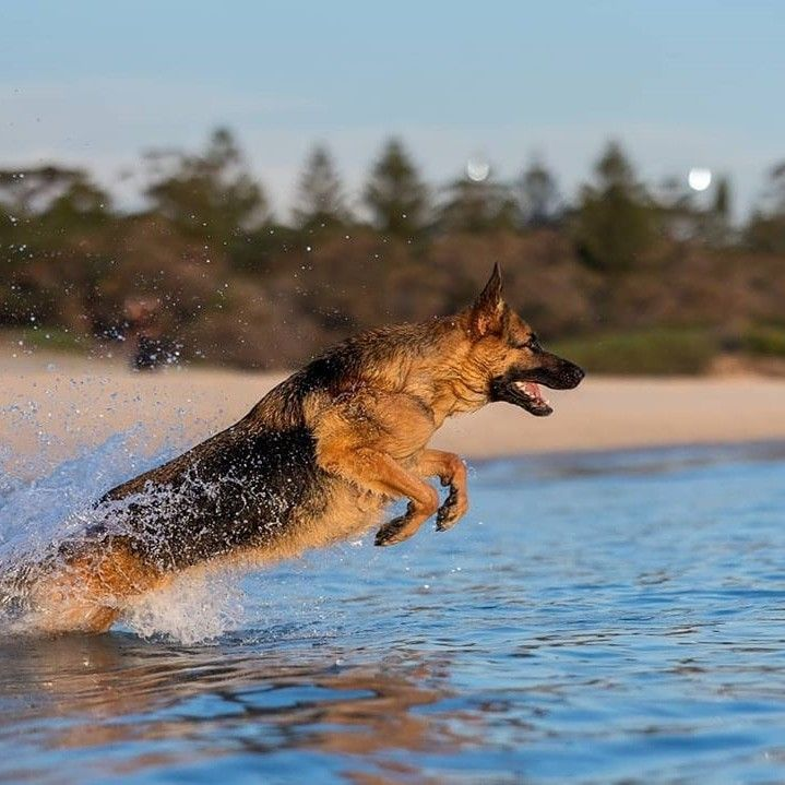 Lucy is one of the strongest swimmers I have ever seen when it comes to any breed. She must of been a Labrador retriever in her past life 😂.   Dm for Credit  from @lucy_lane_the_queen_of_balmain #germanshepherd #gsd #gsdofinstagram #germanshepherdsofinstagram #gsdlove #germanshepherddog #gsdstagram #gsdpuppy #gsdsofigworld #forevergermansheps #gsdofig #gsdlover #gsdpage #gsdloverss #germanshepherds #shepherd #germanshepherdpuppy #instagsd #thegermanshepherdworld #k9 #gsdsofinstagram #ilove