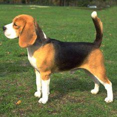 Best Family Dogs Beagle Dog Breed Beagle Dog Dog Breeds