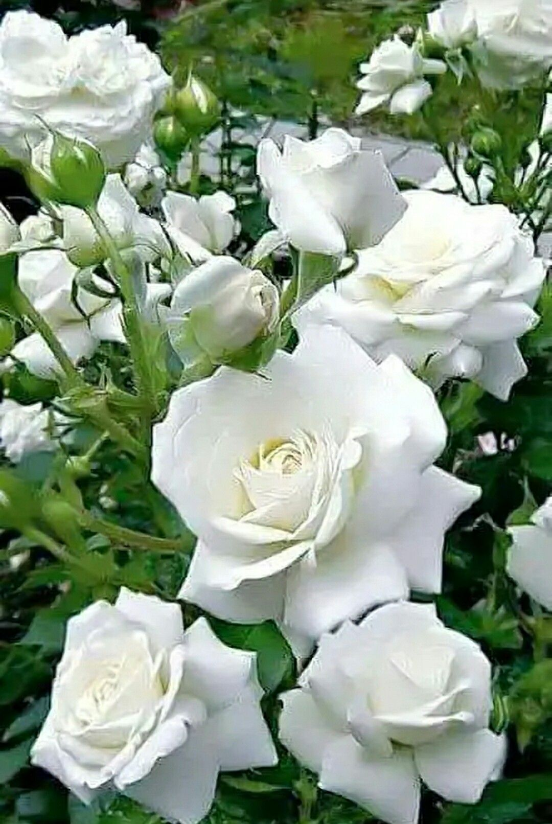 Pin by dorothy gerlach on flowers pinterest white roses flowers more information mightylinksfo