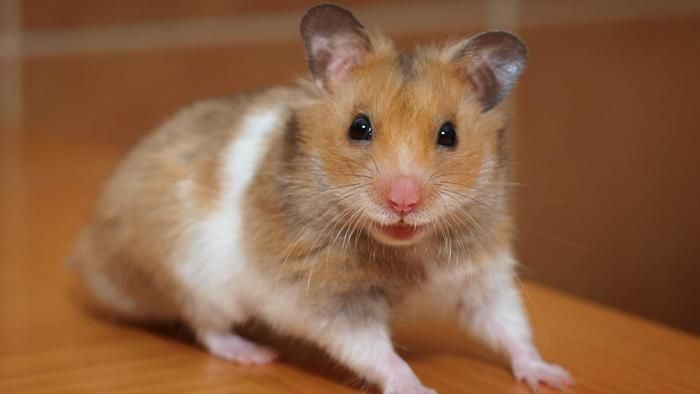 Can Hamsters See In The Dark Best Pets For Kids Animals For