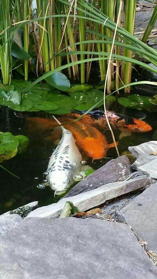 Karpfen im Teich machen den richtigen Asia-Garten aus peixes