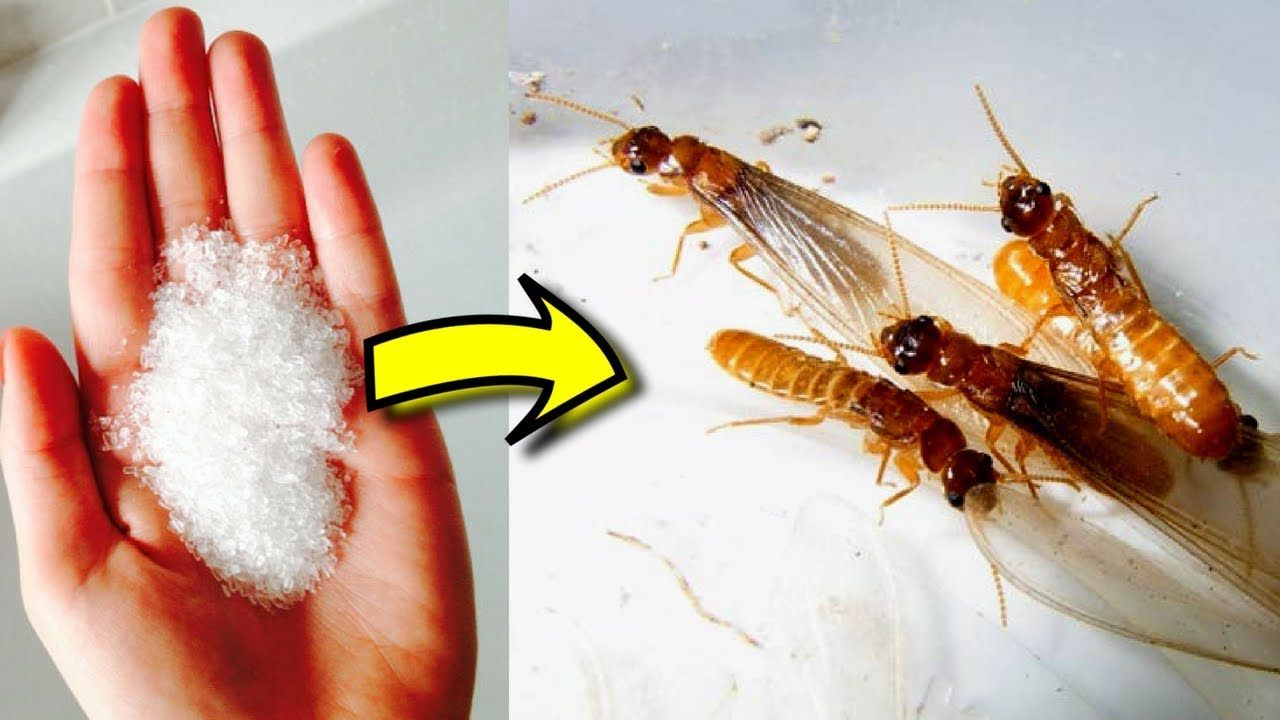 How to get rid of flying termites naturally in house