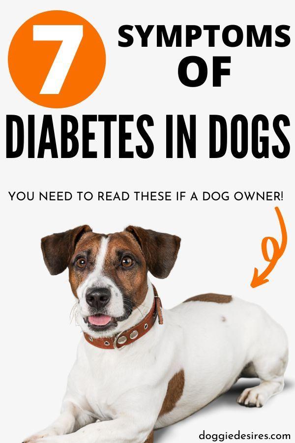 Symptoms Of Diabetes In Dogs Diabetic Dog Sick Dog Dog Care Tips