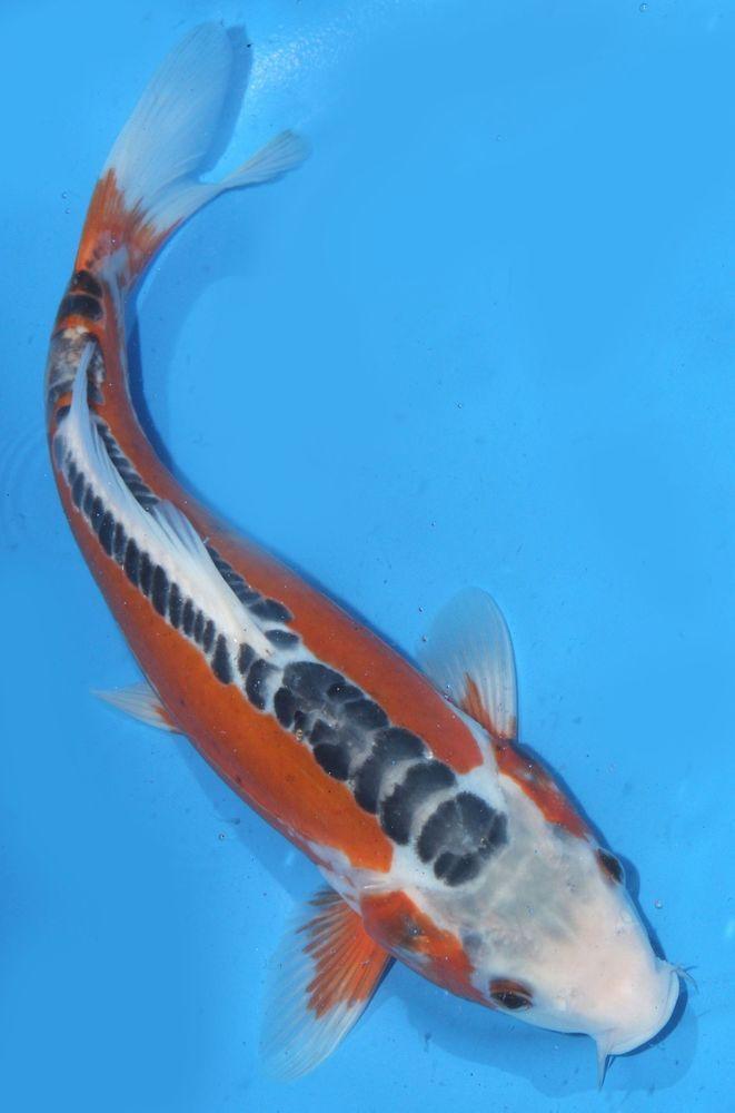 Live Koi Fish 9 10 Shusui Red Blue Koibay