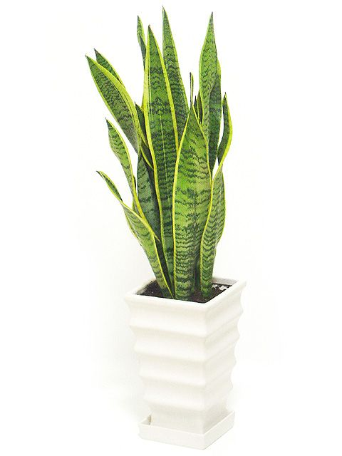 Sansevieria Trifasciata Plantes Bureau Plante