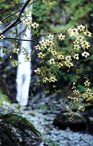 pacific dogwood british columbia canada gilovebc
