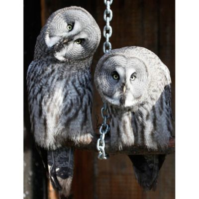 Great Grey Owls. (With images) Great grey owl, Owl pet, Owl
