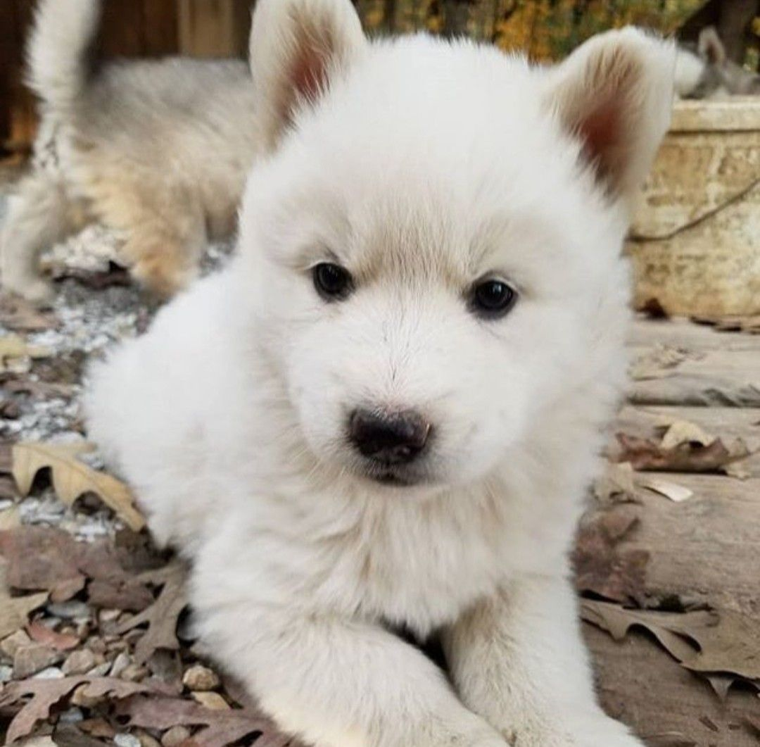 Pin By Husky Mom On Dogs And Cats Mostly Dogs With Images