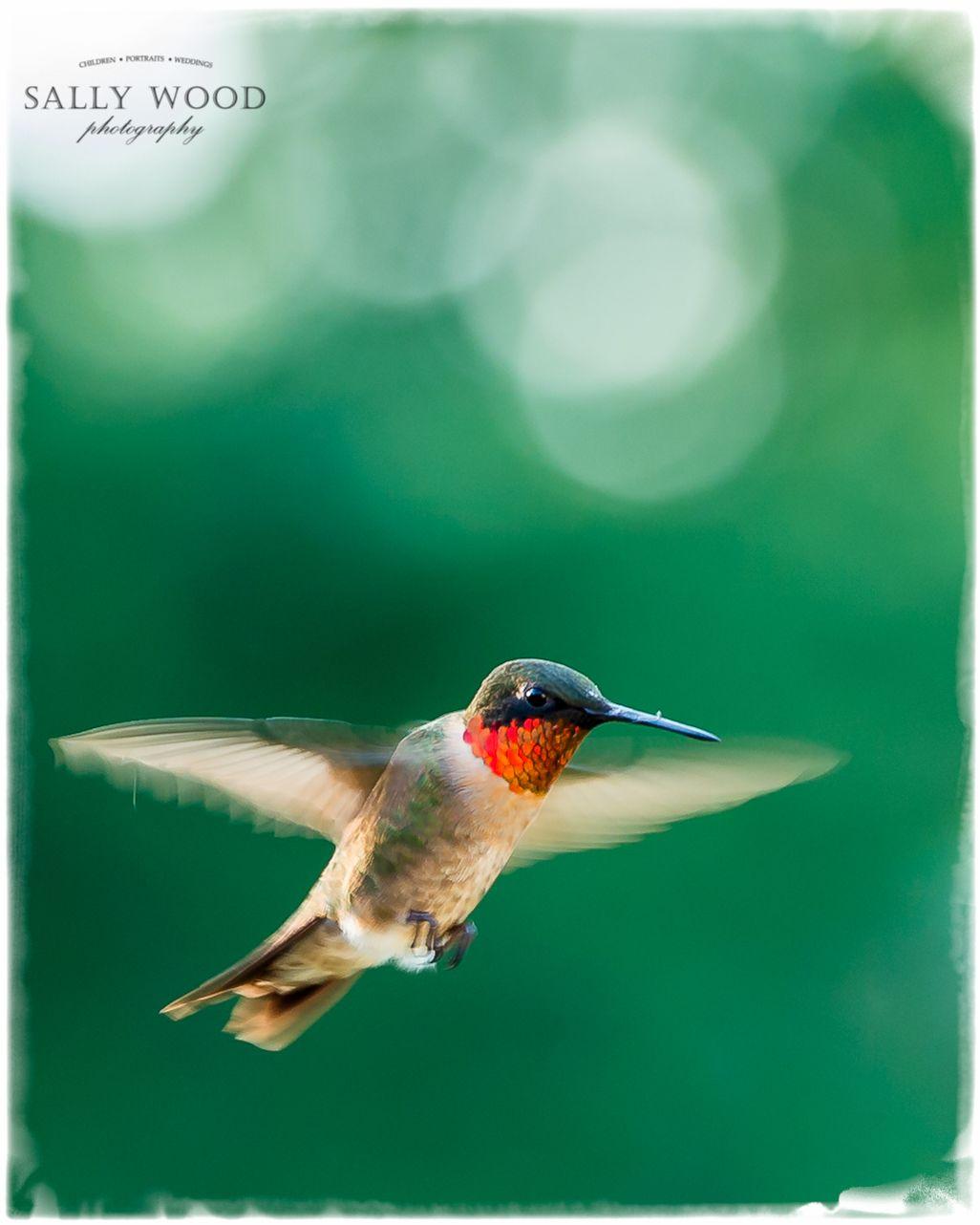 Ruby Throated Hummingbird Northern Virginia Ruby