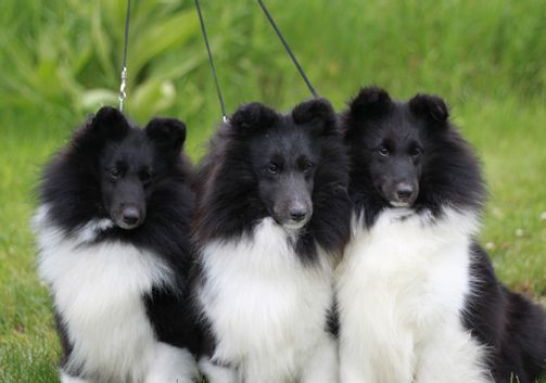 Bi Black Sheltie Trio Sheltie Dogs Sheltie Shetland Sheepdog