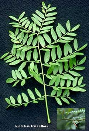 Common Honeylocust Leaves With Images Leaf Identification Tree Identification Plant Leaves