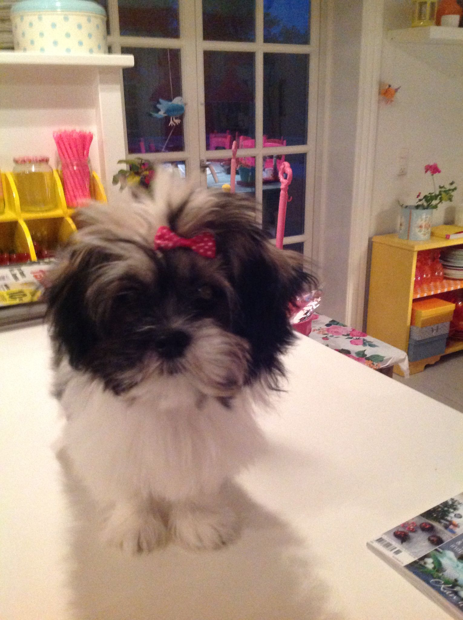 Martha Shih Tzu Puppy Shih Tzu Shih Tzus