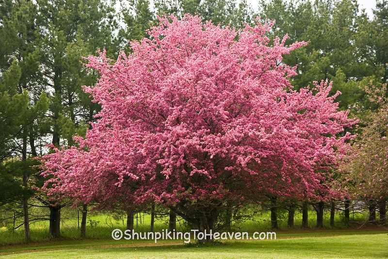 Flowering crabapple treei wish my tree looked like this flowering crabapple treei wish my tree looked like this mightylinksfo