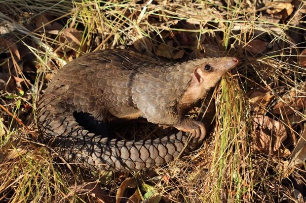 The Week In Wildlife In Pictures Pangolin Facts Save The
