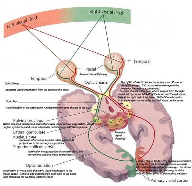 The visual fields image | Optometry | Pinterest | Fields, Brain and ...