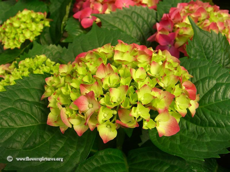 Pink And Green Hydrangea Picture Green Hydrangea Hydrangea Picture Hydrangea