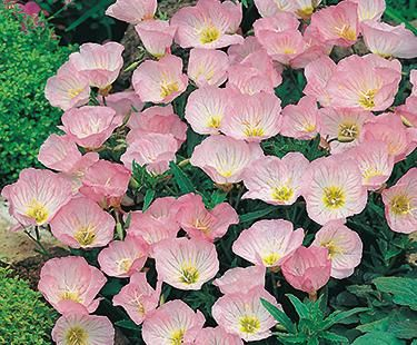 Pink Evening Primrose Easy To Grow Lots Of Them In My Hill