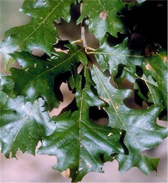 4604 Oak Arbor: Overcup Oak - Quercus Lyrata