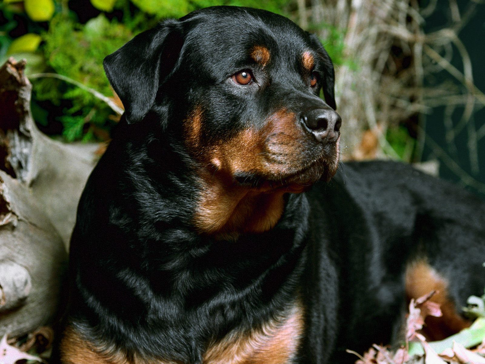 Free Big Dog Wallpapers And Big Dog Backgrounds Rottweiler Dog Rottweiler Dog Breed Rottweiler Breed