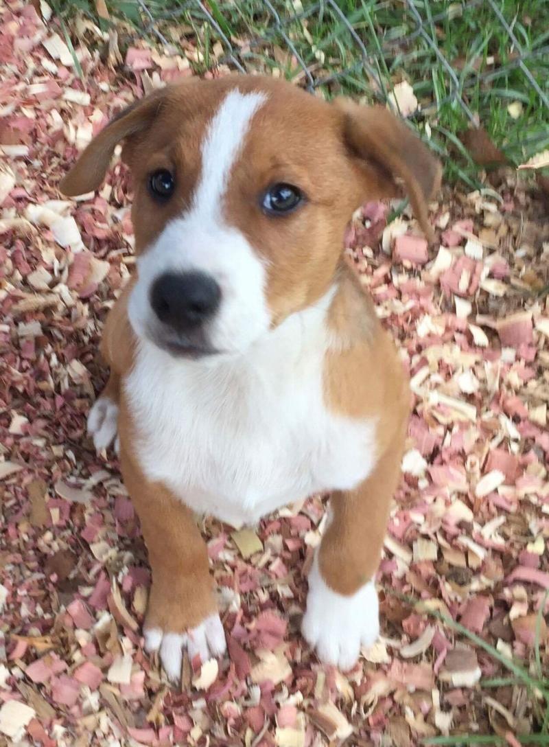 Adopt Blade on Pets, Dogs, Golden retriever mix