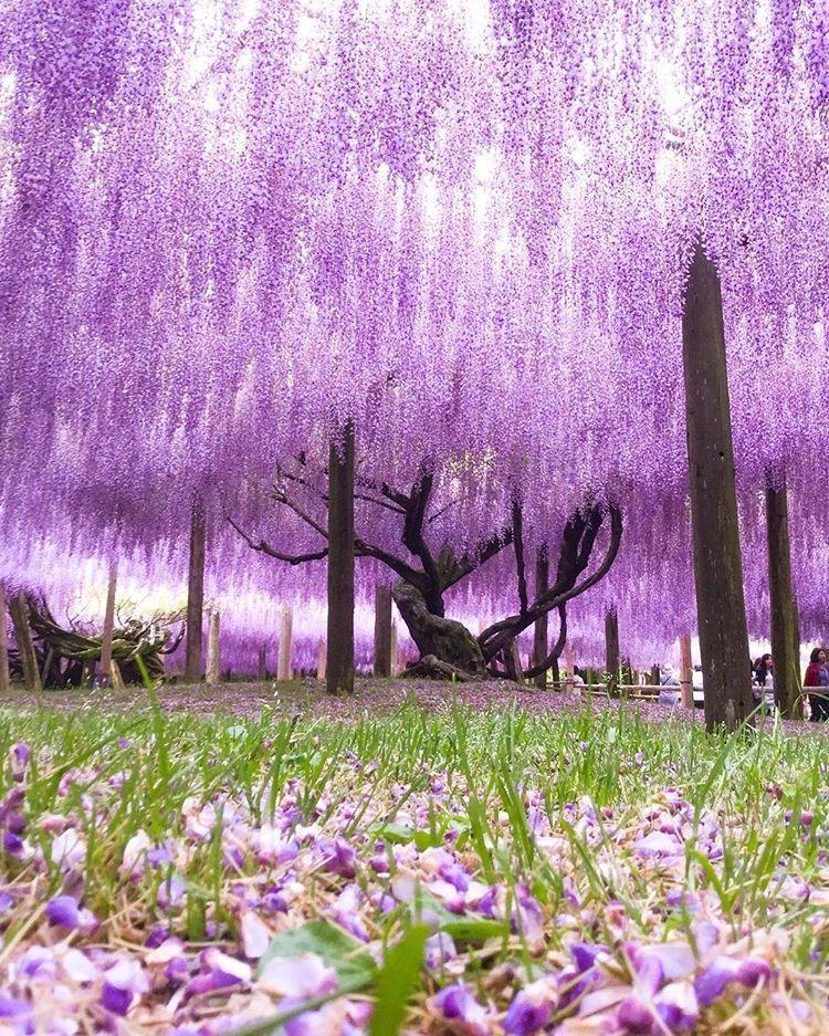 Kawachi Wisteria Garden Japan Spring Flower Purple Superb