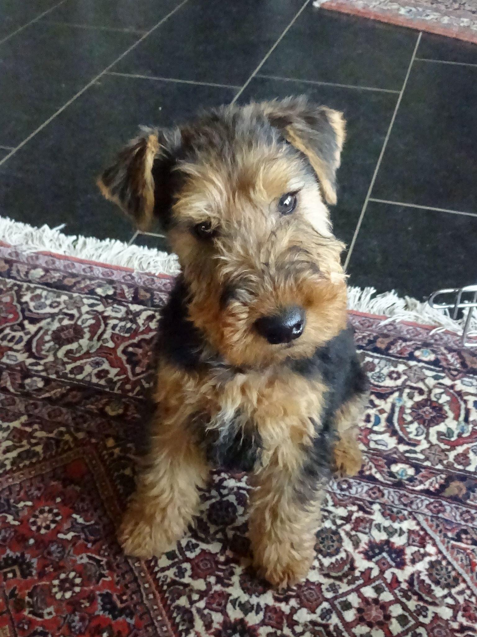 Welsh Terrier Puppy Fox Terrier Puppy Airedale Terrier Puppies