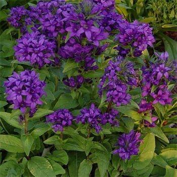 Bellflower Superba Flower Seed Bellflower Flower Flower Seeds Flower Landscape