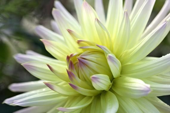Yellow and Pink Dahlia,  Flower Macro Photography, Digital Download, Nature Lover, Screensaver, Prin