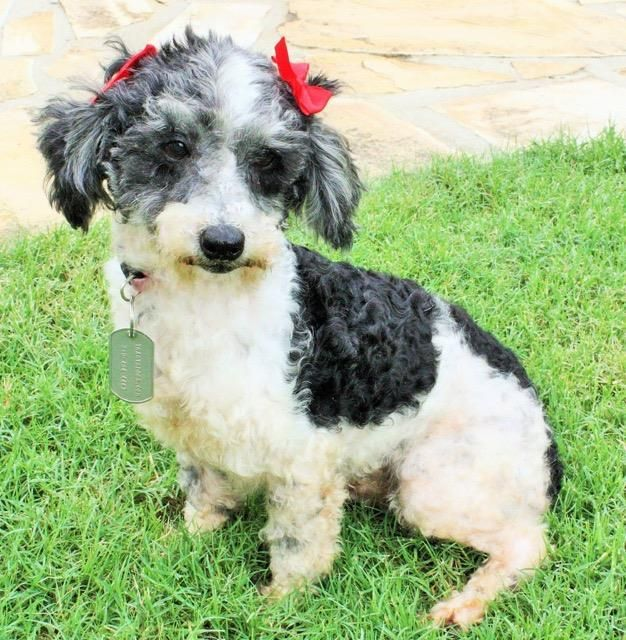 Adopt Mindy On Puppies Poodle Mix Dogs Puppies Poodle