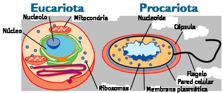 Tipos De Células Procariotas Y Eucariotas Con Imágenes Lifeder Procariota Y Eucariota Celula Eucariota Células Procariotas