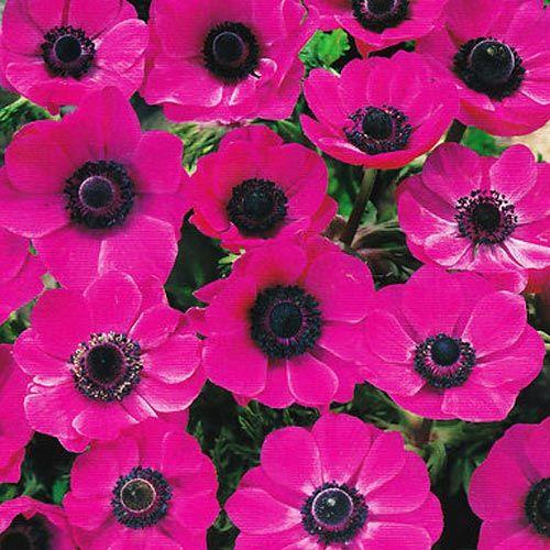 Anemone de caen pink sylphide autumn flowering bulbs single anemone de caen pink sylphide autumn flowering bulbs single flowers of a striking pink pick for cut flowers mightylinksfo