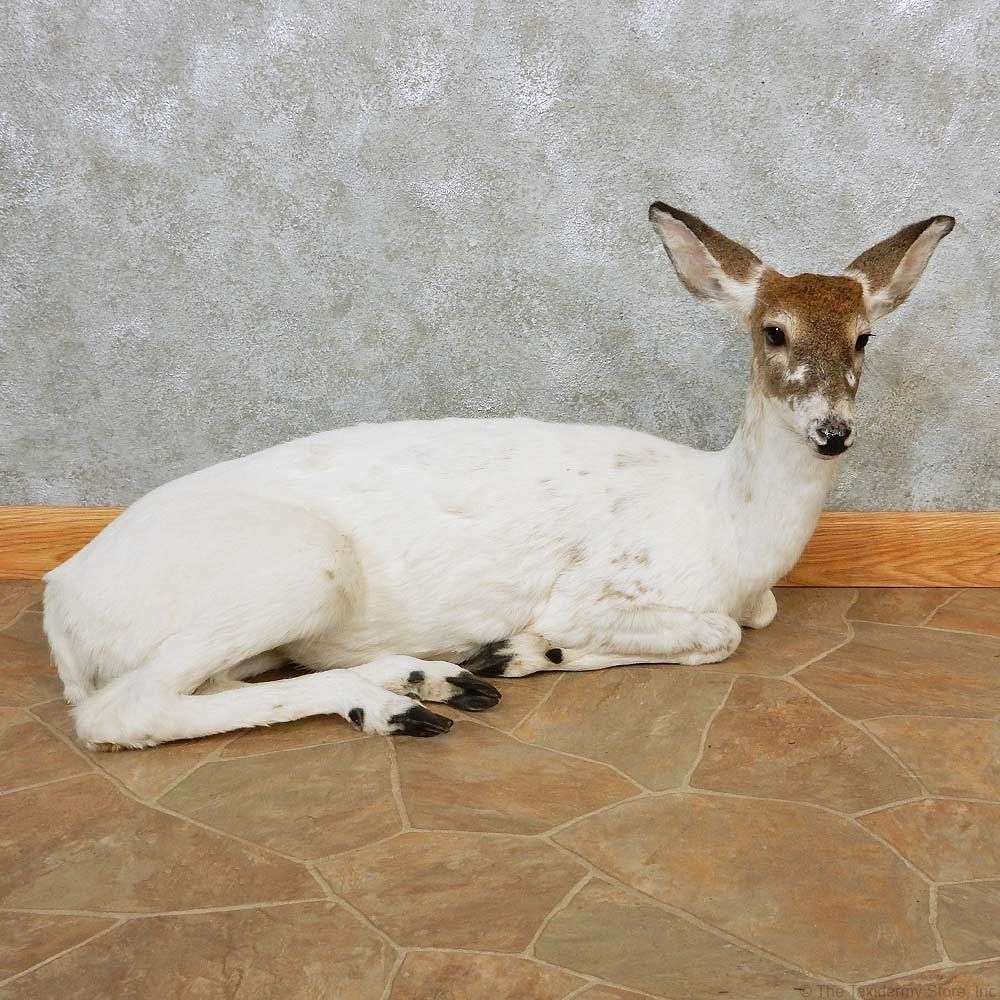 Piebald Whitetail Doe Life Size Taxidermy Mount For Sale Taxidermy Mounts Melanistic Taxidermy