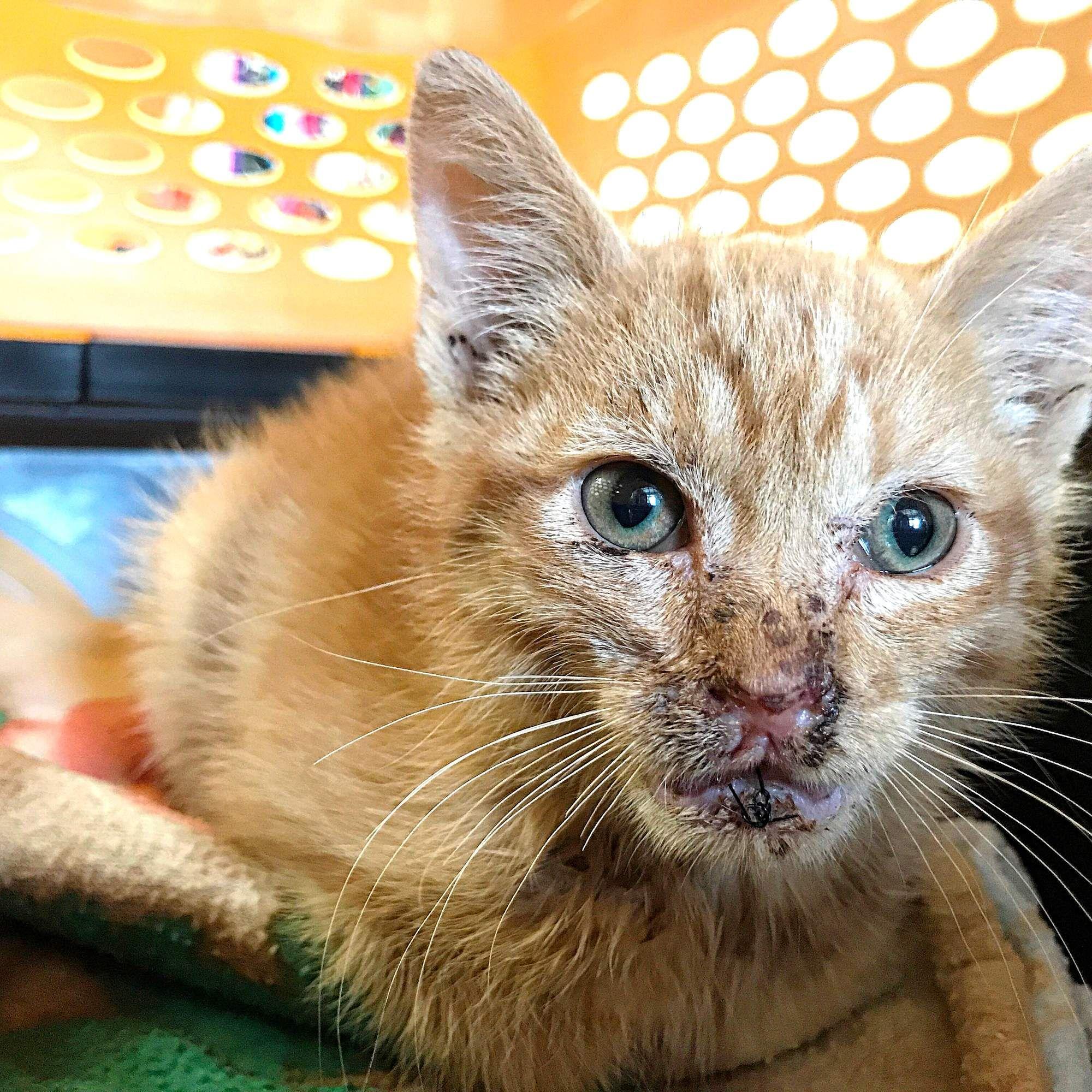 Little Kitten Hurt By Fireworks Is Learning To Trust People Again Kitten Little Kittens Kitten Names