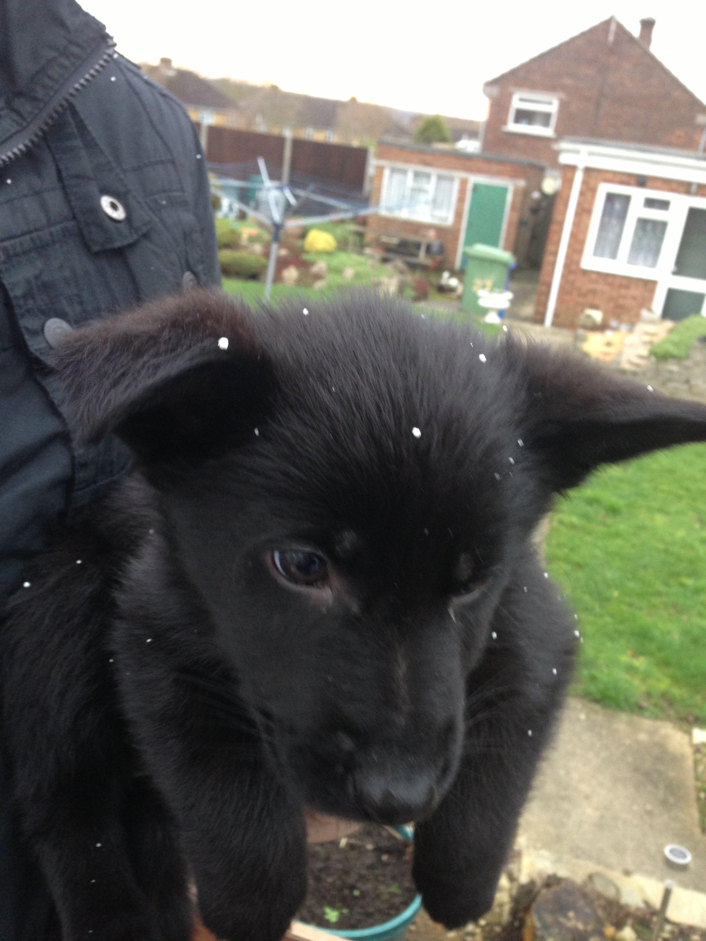 Black german shepherd puppy in the snow 8 weeks old