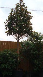 Magnolia Grandiflora Full Standard My Plants Magnolia Garden