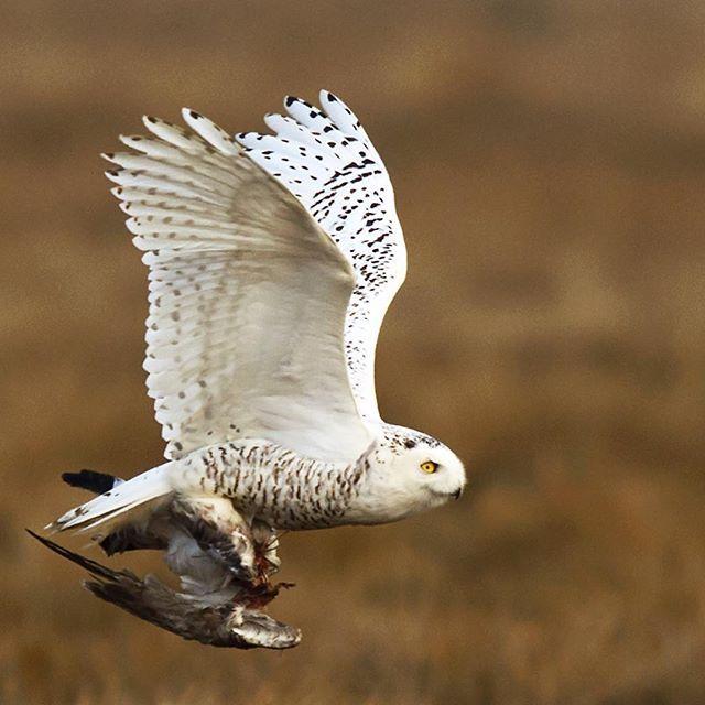 Snowy Owl Bird Photo Snowy Owl Birds In Flight