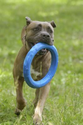 What Is The Average Weight Of An Italian Mastiff Mastiffs Cane Corso Weight Dog Breeds