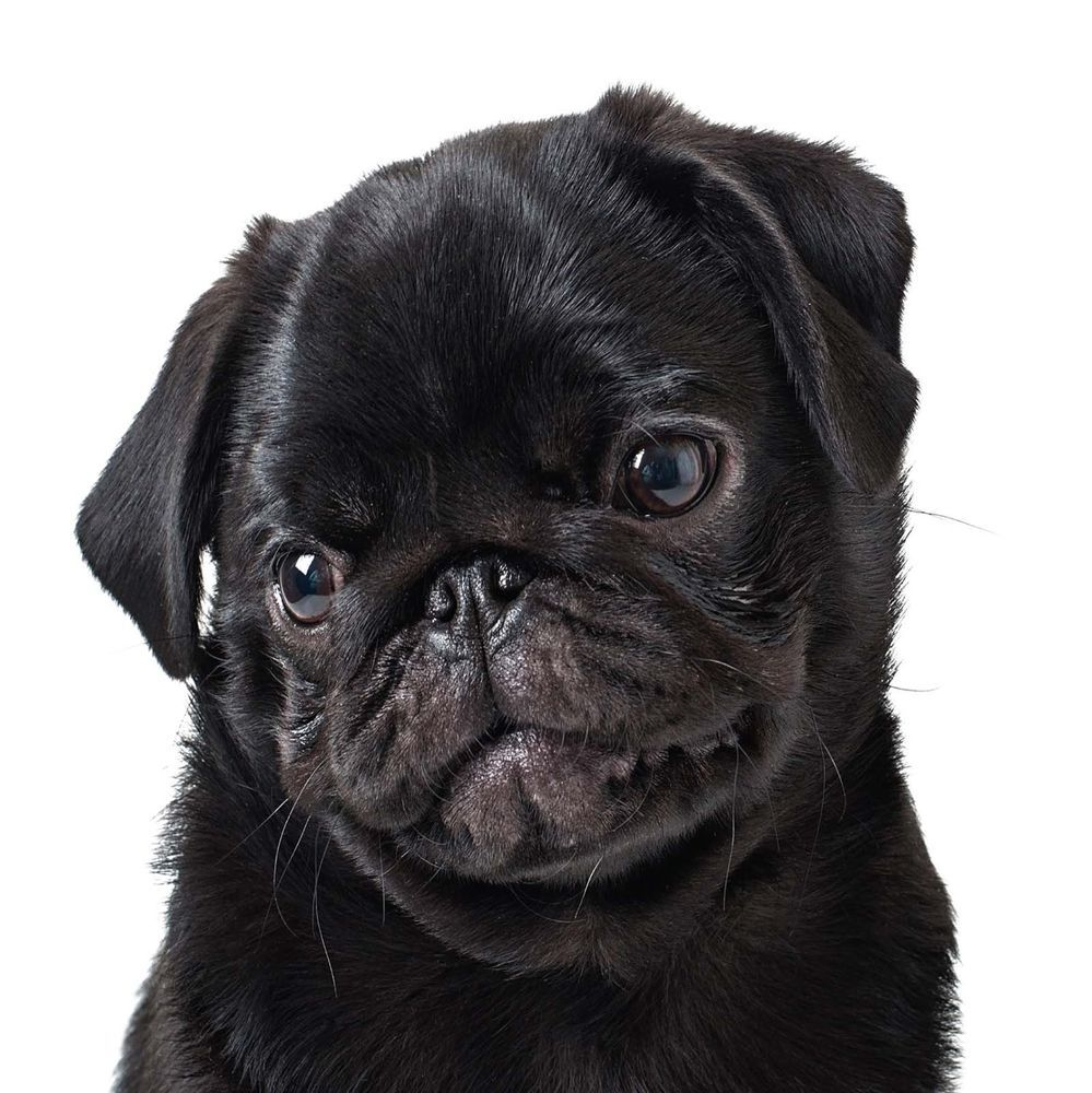 Details About Birthday Card Black Pug Puppy Dog Ideal For Mum