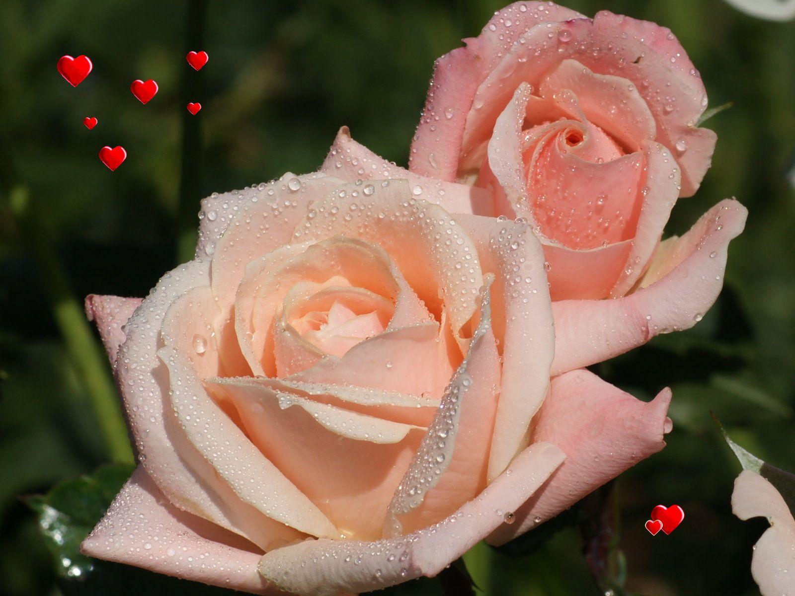 Love Wallpaper Valentine Roses 1600x1200px 1080p