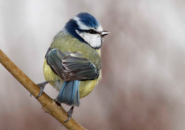 the blue tit (cyanistes caeruleus), is a small passerine bird in the tit family paridae. this species is widespread and common throughout temperate and subarctic europe and western asia. photo by emuwren