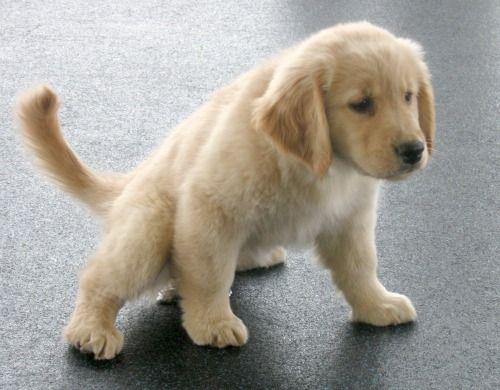 Puppy peeing on floor
