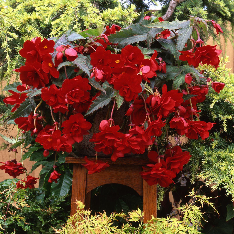 Begonia Sun Dancer Red Begonia Easy To Grow Bulbs Hanging Baskets
