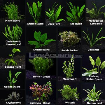 Aquarium plant pack ultimate website with live plant for Best aquatic plants