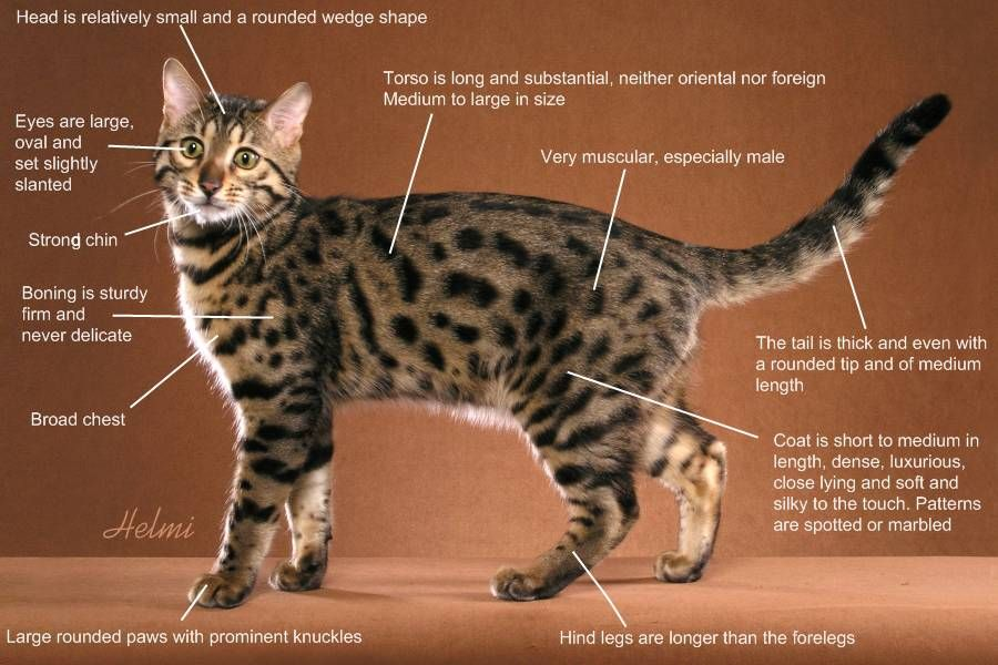 Bengal Cat Breed Standard Bengal Cat Cat Breeds Bengal